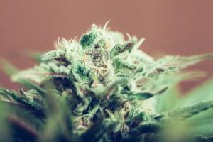 Cannabis bud