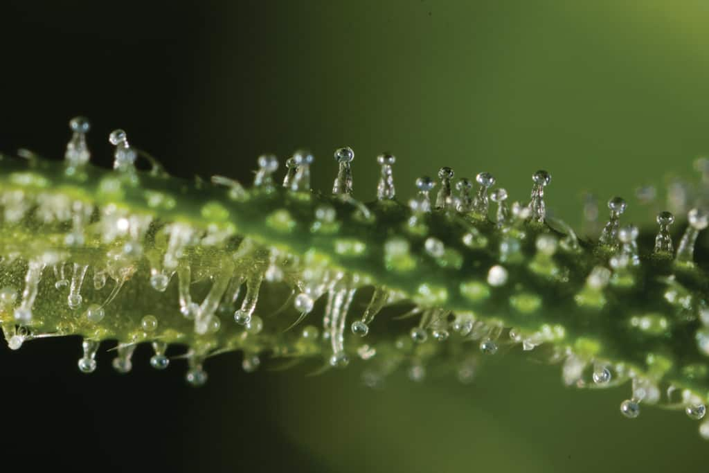 Trichomes: The Complete Guide - Honest Marijuana