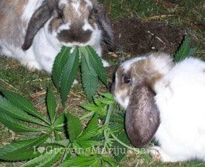 Marijuana Rabbits