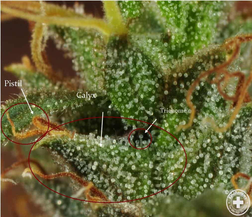 Eighth Of Weed: Trichomes: The Complete Guide