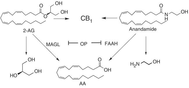 cbd anandamide