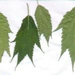 marijuana leaf mutation