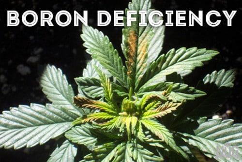 cannabis boron deficieny