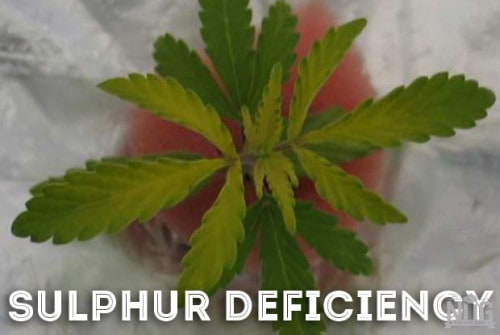 marijuana sulphur deficiency