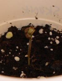 marijuana seedling