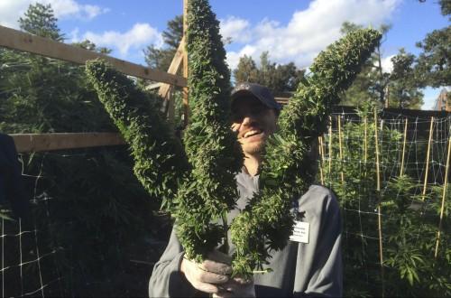 marijuana farmer