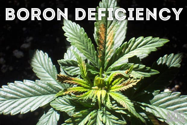 marijuana boron deficiency