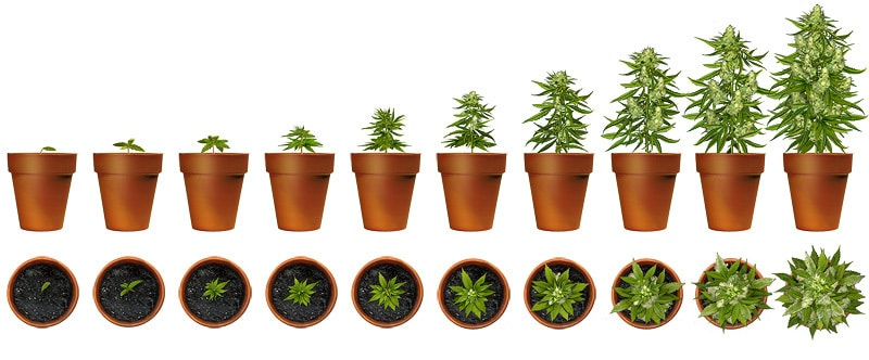 Sour Diesel Strain Guide Honest Marijuana