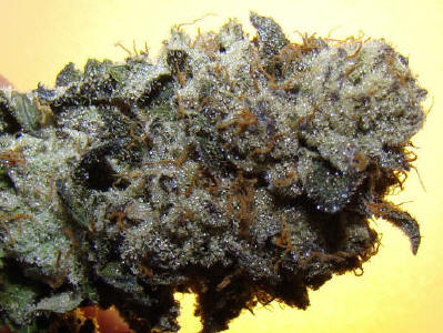 thin mint girl scout cookies strain review   honest marijuana
