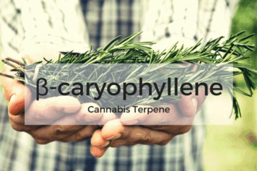 Caryophyllene