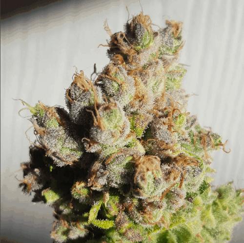 strongest cannabis seeds