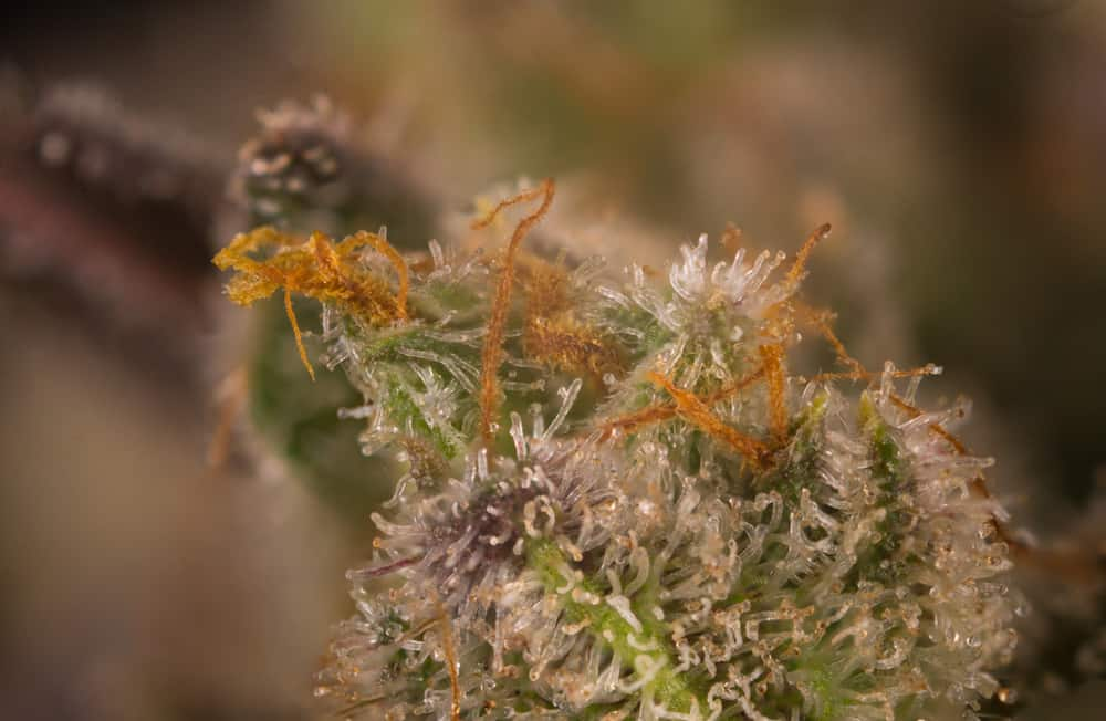 Strongest Weed Strains: Top 20 - Honest Marijuana