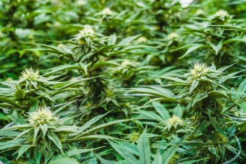 Honest Marijuana Flowers_1