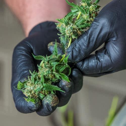 marijuana preservation