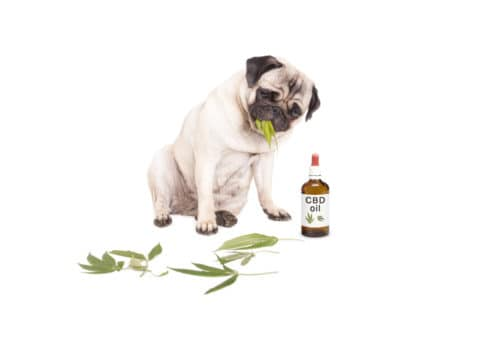 Dog and CBD Oil