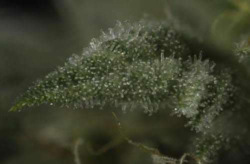 Cannabinoid content