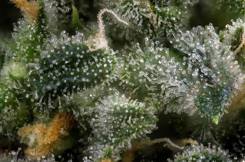 CBG: Everything You Need To Know - Honest Marijuana
